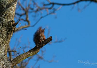 ©AD-Roussières-écureuil-roux-8851