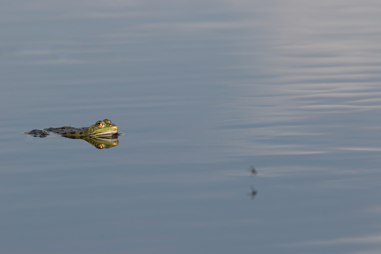 grenouille-verte-amphibiens03