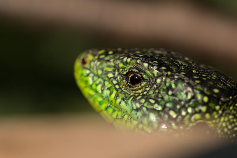 Reptiles01-2019-05-21-Lézard-vert-6318