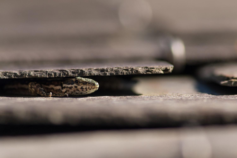 Reptiles04-2015-10-25-Lézard des murailles-7559