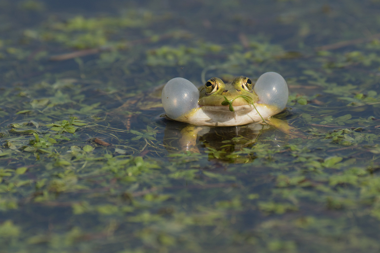 grenouille-verte-amphibiens02